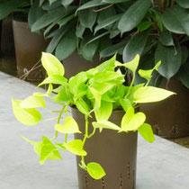 Epipremnum Green Pahtos