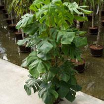 Philodendron pertusum