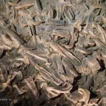 Das größte fossile Austernriff mit 20.000 präparierten Riesenaustern
