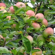 2015 - Äpfel, Äpfel... so weit das Auge reicht