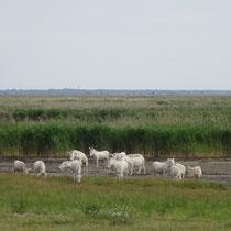 Im Naturschutzgebiet Neusiedler See - die weißen Esel