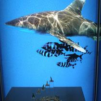 fossile Haifischzähne