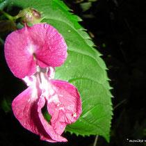 Indisches Springkraut (Impatiens glandulifera)