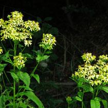 Goldrute (Salidago canadensis)