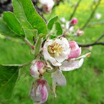 2014 Frühling Apfelblüte