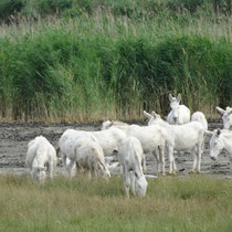 Im Naturschutzgebiet Neusiedler See - weiße Esel