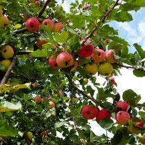 Motiv 9 - Apfel
