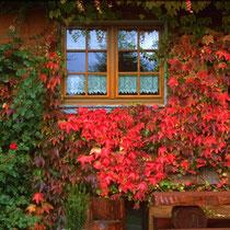 Motiv 1 - Wilder Wein - Haus am Tannenhain