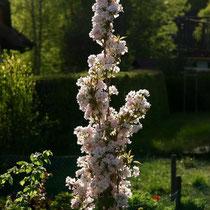Motiv 4 - Säulenkirschbaumblüte