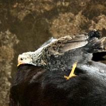 Motiv 5 - Hühner - Bild 5