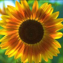 Motiv 1 - Sonnenblume