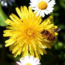 Motiv 6 - Biene auf Löwenzahnblüte