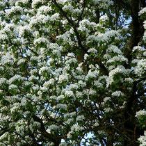 Motiv 11 - Kirschbaumblüte