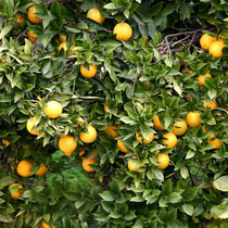 Motiv 2 - Zitrone
