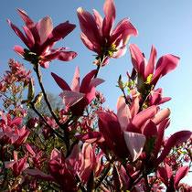 Motiv 1 - Magnolienblüte