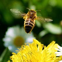 Motiv 11 - Biene im Flug