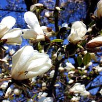 Motiv 5 - Magnolienblüte