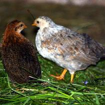 Motiv 6 - Hühner - Bild 6
