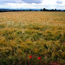 Weizenfeld bei Betra
