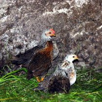 Motiv 2 - Hühner - Bild 2