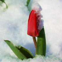 Motiv 14 - Tulpe