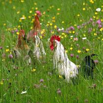 Motiv 1 - Hühner - Bild 1