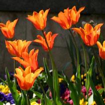 Motiv 10 - Tulpen