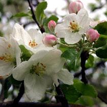 Motiv 2 - Apfelbaumblüte