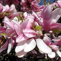 Motiv 14 - Magnolienblüte
