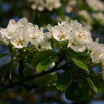 Motiv 8 - Mirabellenbaumblüte