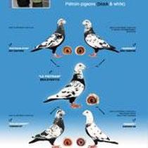 Total-Aufgabe = Scherens-Vangramberen - Tigerschecken, schwarze und weiße Reise-Brieftauben