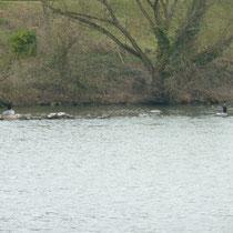 Kormorane, Graugans und Enten ruhen auf dem Steinwall