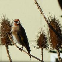 Der Distelfink liebt Distelsamen - Foto P. Welker