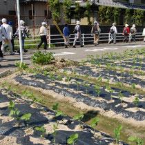 芽が伸びてきた枝豆の畑