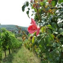 Hier wächst die PIWI-Sorte, mit der alles begann: Vor 20 Jahren präsentierten wir den ersten Wein unserer Bronner-Reben.