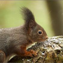 Eichhörnchen am Futterplatz