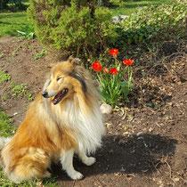 Sonne und Tulpen genießen in meinem Garten!