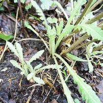 Gartenentdeckung am 1. Januar - der Mohn wächst schon /develloppa