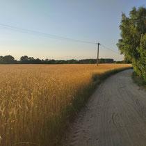 Sonnengelbe Getreidefelder in Polen