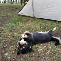 Wurschti, der Campinghund