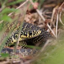 un serpent à la ferme bio de la Millanchère