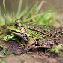une grenouille à la ferme bio de la Millanchère
