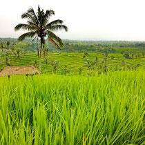 Reisterrassen Jatiluwih Bali