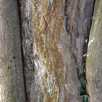 Das einzige Pentagramm Vorort von Vandalen in einen Baum geritzt