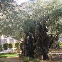 Olivenbaum im Garten Gethsemane