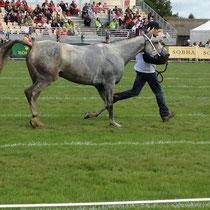 examen de la foulée des chevaux pour détecter d'éventuelles blessures