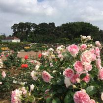 うすピンク色のばらの写真です。群馬県前橋市のばら園にて、品種はプリンセスアイコ。