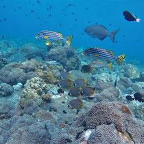 Orientsüßlippe, Bali, 2017, Tauchen, Tauchgang, Coral Garden, USS Liberty, Zwei auf Achse