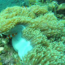 Anemone, Clownfisch, Bali, 2017, Coral Garden, Liberty, USS Liberty, Wrack, Tauchen