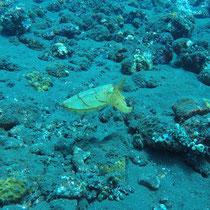 Cuttlefisch, Bali, 2017, Tauchen, USS Liberty, Wrack, Coral Garden, Indonesien